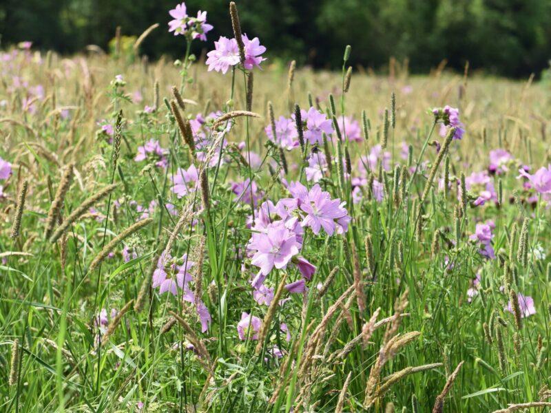 meadow2